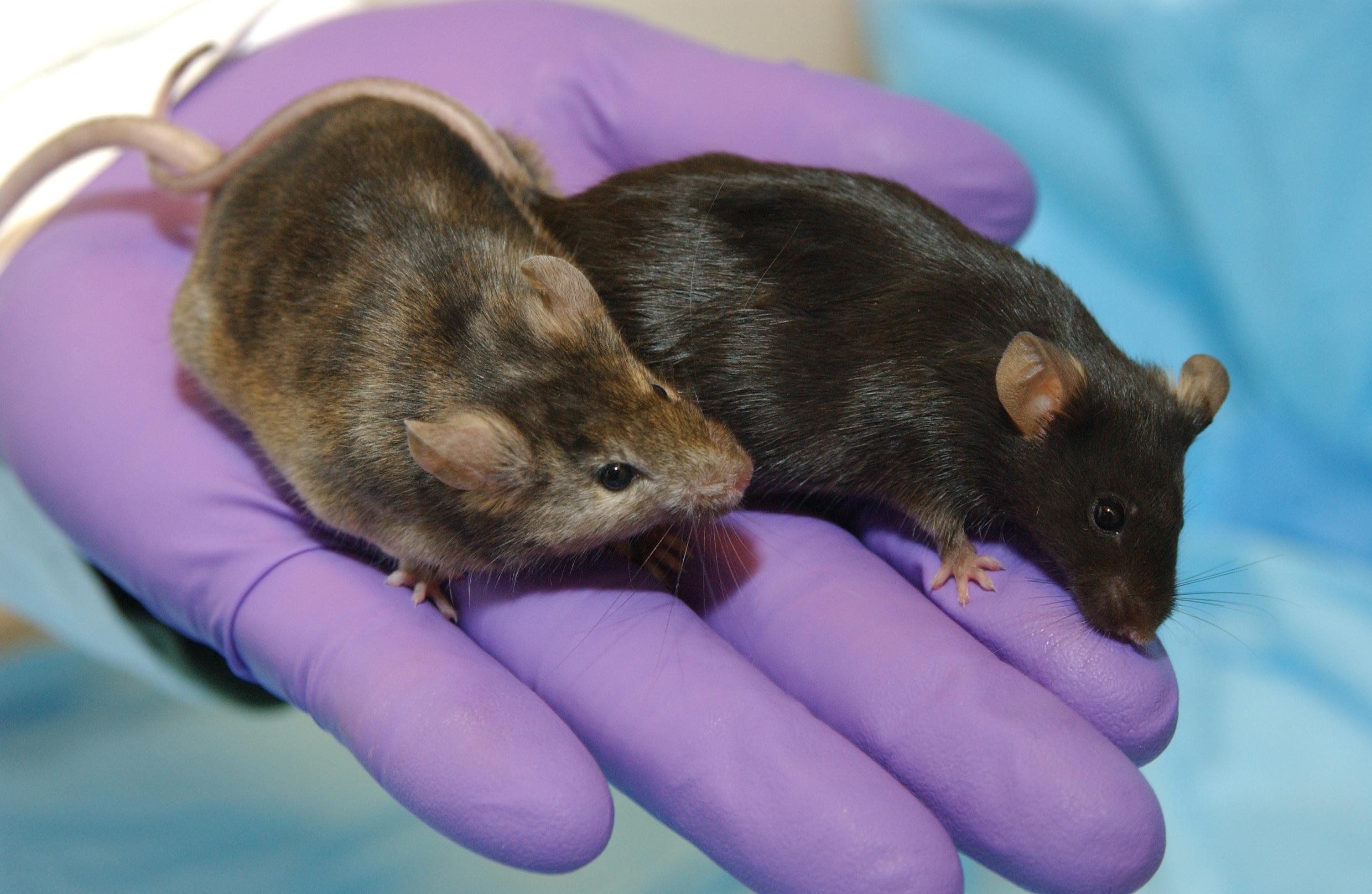 نجاح أول تجربة يابانية في ولادة فئران من حيوانات منوية مخزنة في الفضاء!