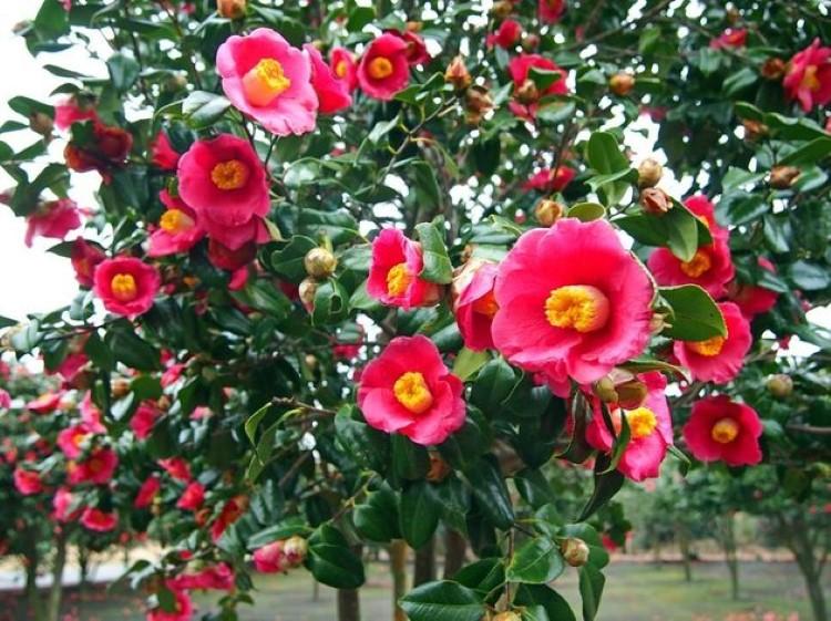 زهور الكاميليا