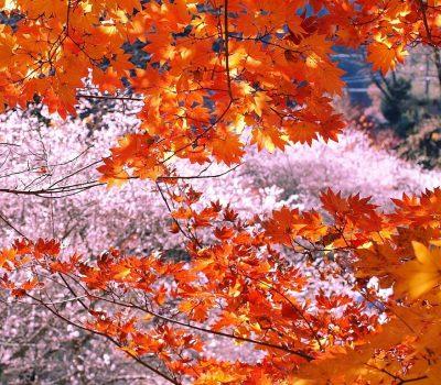 الساكورا تزهر بالخريف في اليابان