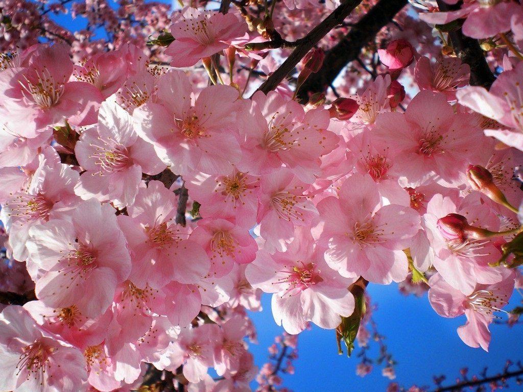 أزهار الكرز (الساكورا) في اليابان